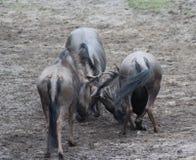 Голубое бой антилопы гну Стоковые Изображения RF