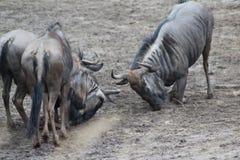 Голубое бой антилопы гну Стоковая Фотография RF