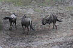 Голубое бой антилопы гну Стоковое Изображение RF