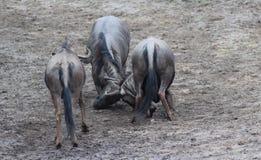 Голубое бой антилопы гну Стоковые Фотографии RF