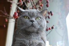 голубое великобританское shorthair кота Стоковая Фотография RF