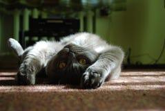 голубое великобританское shorthair кота Стоковые Фотографии RF