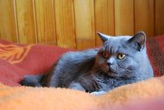 голубое великобританское shorthair кота Стоковая Фотография
