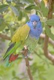 голубое возглавленное pionus стоковое изображение rf