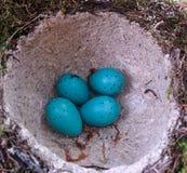 голубое гнездй яичек Стоковое Фото