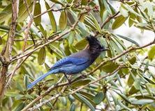 Голубое Джэй на дереве Стоковое Изображение RF