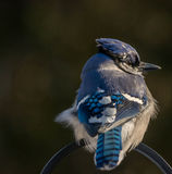 Голубое Джэй Стоковые Изображения RF