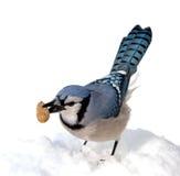 Голубое Джэй Стоковое Изображение