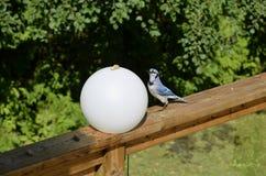 Голубое Джэй Стоковое фото RF