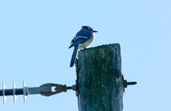 Голубое Джэй Стоковые Изображения