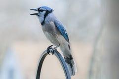 Голубое Джэй Стоковое Изображение RF