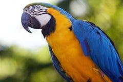 Голубое и желтое ararauna Ara ары Стоковые Изображения