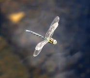 Голубое и коричневое летание dragonfly стоковые фотографии rf