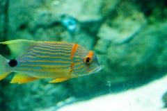 Голубое и оранжевое chrysotaenia Plectorhinchus рыб sweetlips Стоковое Изображение RF