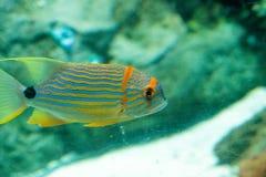 Голубое и оранжевое chrysotaenia Plectorhinchus рыб sweetlips Стоковая Фотография