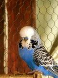 Голубое мужское взрослое budgie выставки стоковая фотография