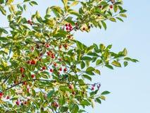 Голубое небо и ветвь дерева с зрелой красной вишней Стоковые Изображения