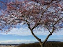 Голубое небо и розовые цветения стоковое изображение rf