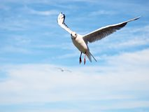 голубое небо моря чайки Одичалая птица чайки летает голубое небо Стоковые Изображения