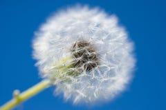 голубое небо одуванчика Стоковая Фотография