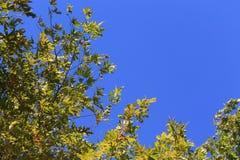 Голубое небо с зелеными листьями предпосылки дерева явора Стоковое Изображение RF