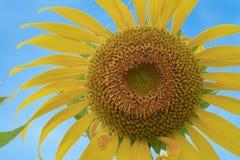 Голубое небо с солнцецветом Стоковое Изображение RF