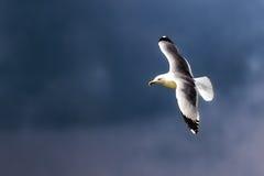 голубое небо чайки летания Стоковые Изображения RF