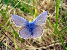 голубое общее бабочки Стоковая Фотография RF