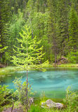 Голубое озеро гейзера в горах Алтай с красивым зеленым лесом Стоковые Изображения RF
