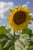 голубое пасмурное поле над солнцецветом неба Солнцецвет, солнцецвет зацветая, поле солнцецвета стоковое изображение