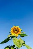 голубое пасмурное поле над солнцецветом неба Стоковые Изображения RF