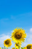 голубое поле над солнцецветом неба Стоковые Фотографии RF