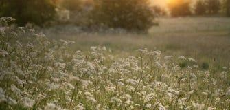 голубое поле цветет лето неба лужка травы вниз Стоковая Фотография