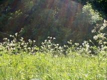 голубое поле цветет лето неба лужка травы вниз Стоковые Изображения