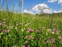 голубое поле цветет лето неба лужка травы вниз Стоковое Фото
