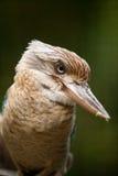 голубое подогнали kookaburra, котор Стоковые Изображения
