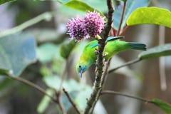 голубое подогнали leafbird, котор Стоковое Изображение