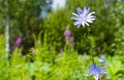 голубое снадобье цикория fields трава 2 цветков зеленая Стоковая Фотография
