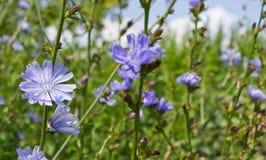 голубое снадобье цикория fields трава 2 цветков зеленая Стоковое Изображение RF