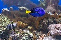 Голубое тропическое заплывание рыб под водой Стоковая Фотография RF