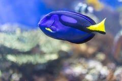 Голубое тропическое заплывание рыб под водой Стоковое фото RF