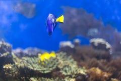 Голубое тропическое заплывание рыб под водой Стоковые Фото
