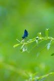 Голубое фиолетовое насекомое Dragonfly на зеленом цвете выходит в Италию для черепашки Стоковые Фотографии RF