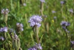 Голубое цветене Benth tanacetifolia Phacelia phacelia Стоковые Фотографии RF