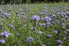 Голубое цветене Benth tanacetifolia Phacelia phacelia Стоковые Изображения RF