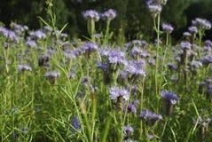 Голубое цветене Benth tanacetifolia Phacelia phacelia Стоковое фото RF