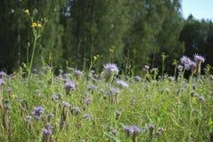 Голубое цветене Benth tanacetifolia Phacelia phacelia Стоковые Изображения