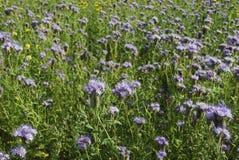 Голубое цветене Benth tanacetifolia Phacelia phacelia Стоковое Изображение