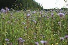 Голубое цветене Benth tanacetifolia Phacelia phacelia Стоковые Фото