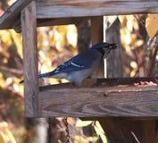 Голубое Джэй на фидере птицы Стоковое Изображение RF